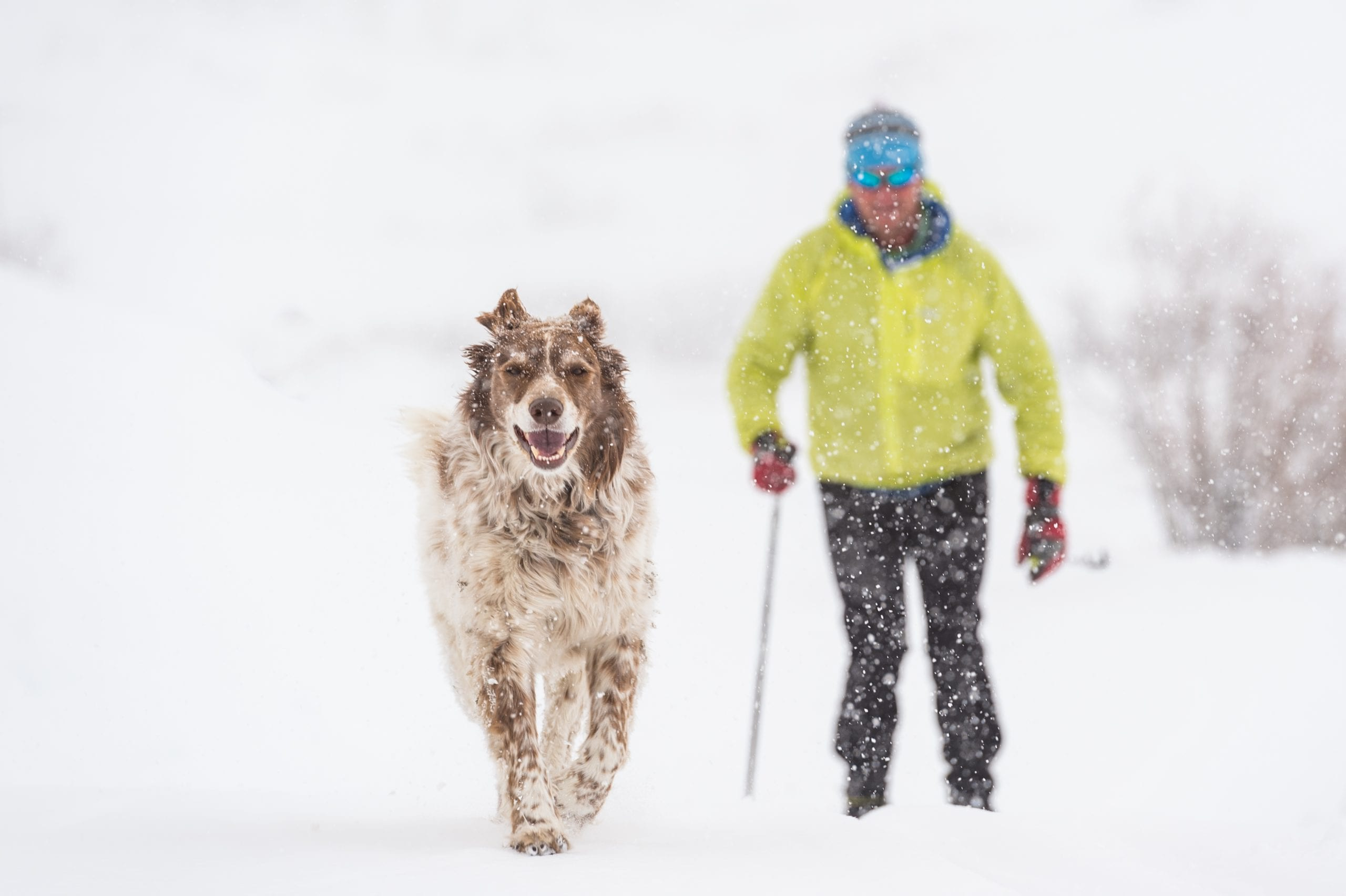 Happy dog out for a ski in a light snow storm