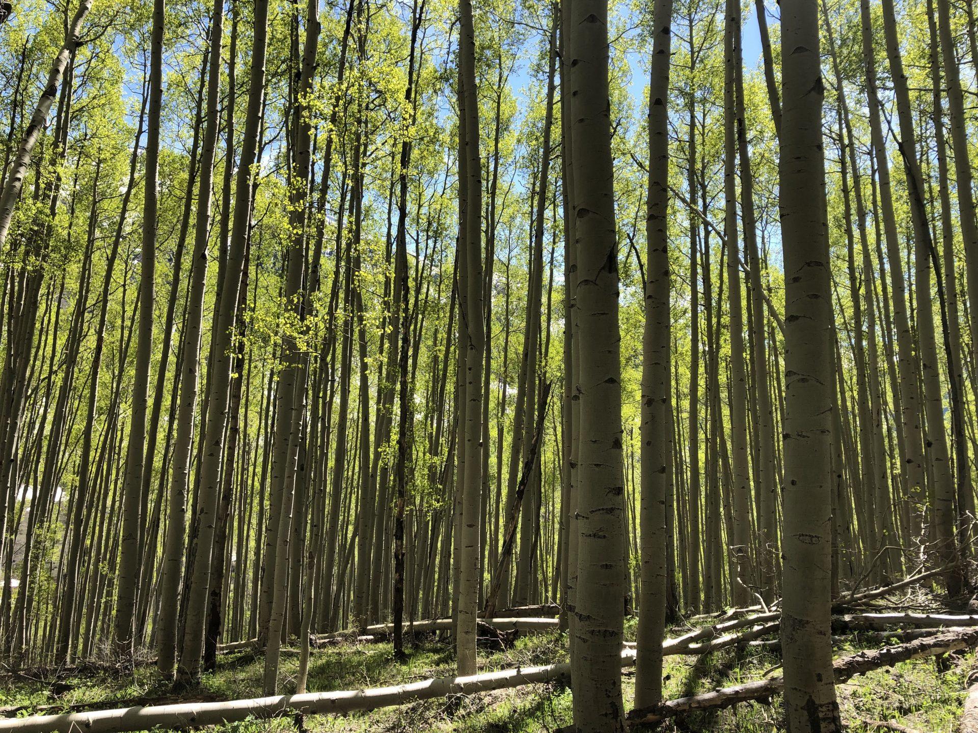 Aspen forest scene in early summer