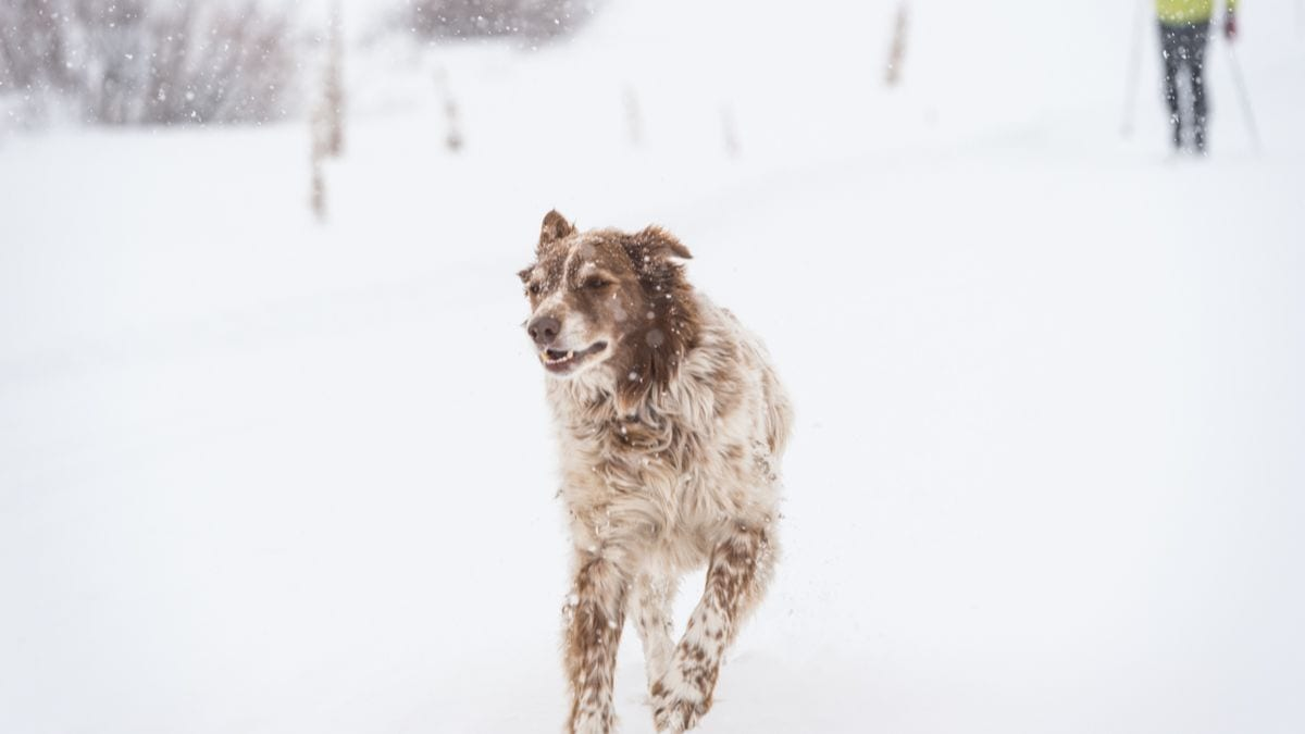 Happy dog out for a ski on Crested Butte Nordic trails